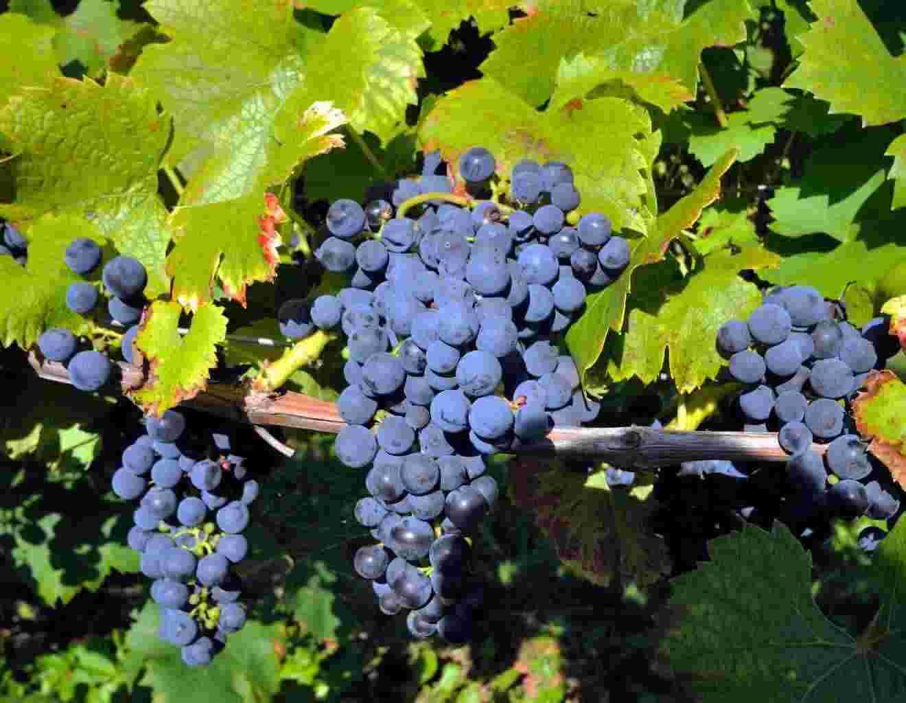 Vendita Uva da vino nera e bianca qualità eccellente