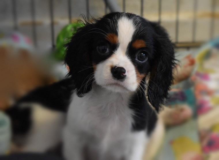 Cavalier King Charles Spaniel cuccioli