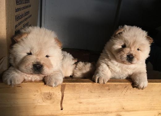 Due cuccioli di Chow Chow
