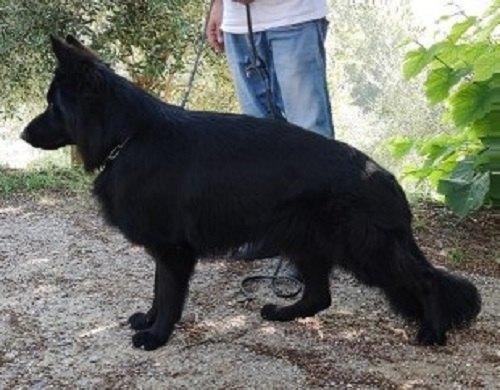 Cuccioli di pastore tedesco a pelo lungo nero e bicolor