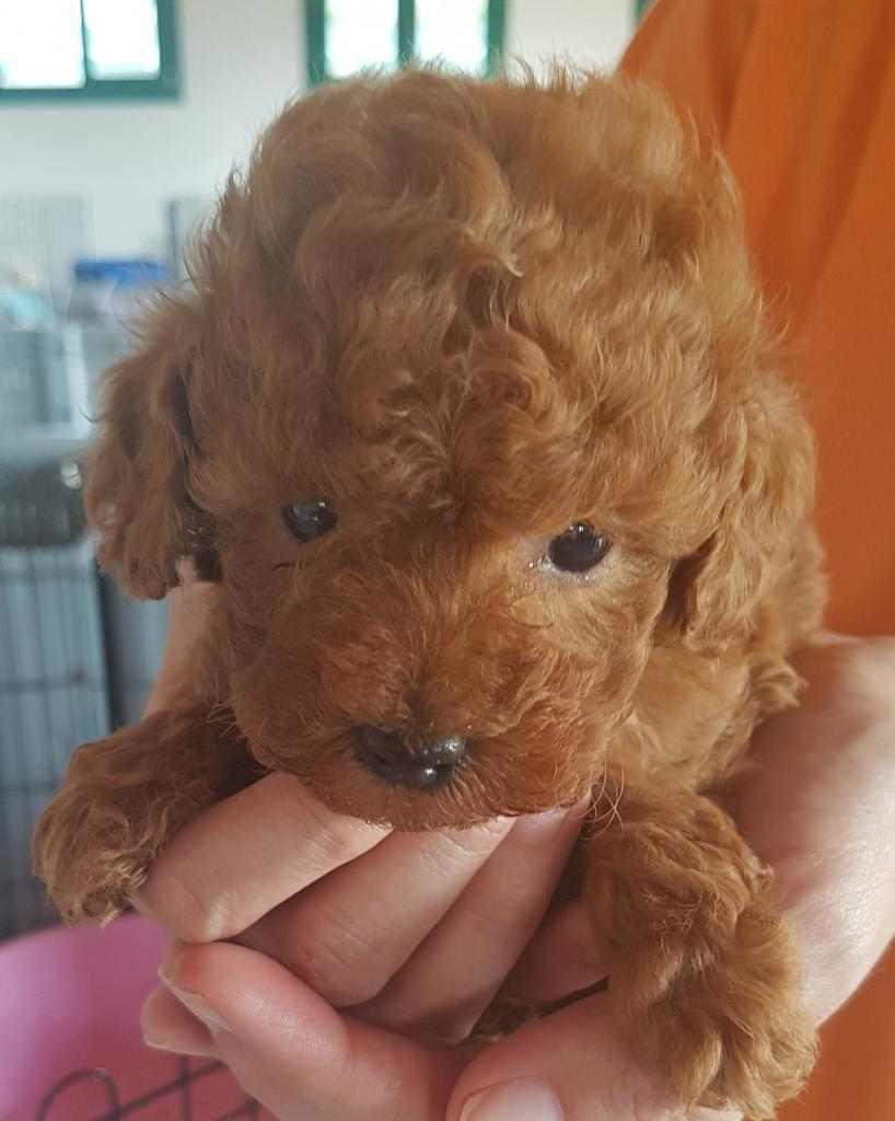 Barboncino Red cuccioli di 60 giorni