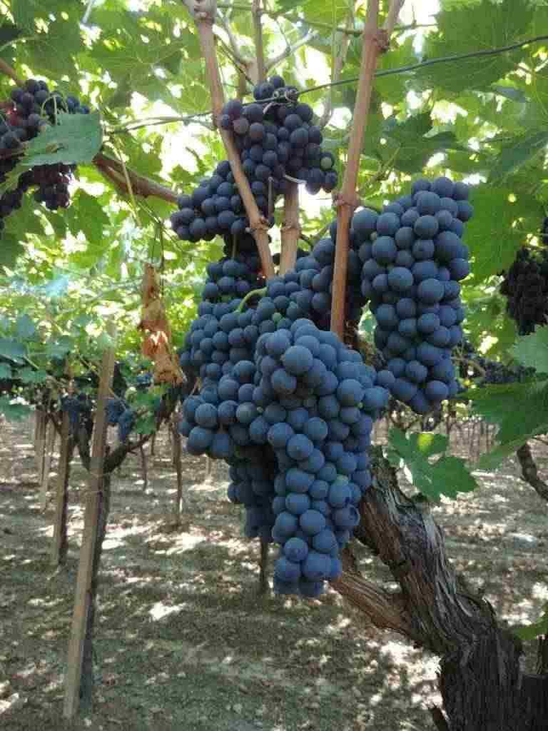Uva da vino qualità eccellente